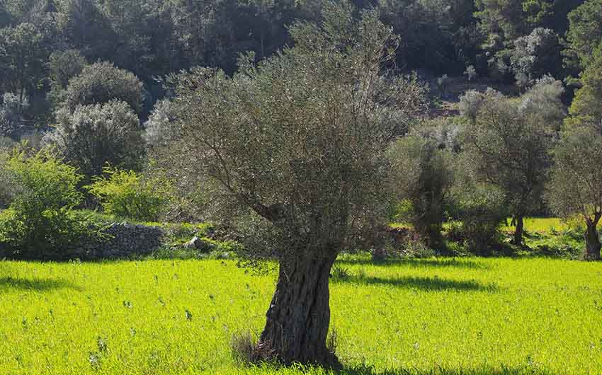 Olive Trees in Mallorca with The Little Voyager