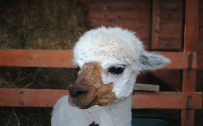Alpacas at The Little Voyager's Umbrian Cottages