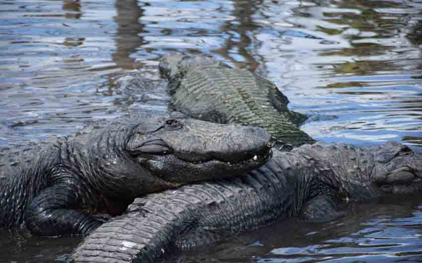 Alligators in Florida and The Little Voyager